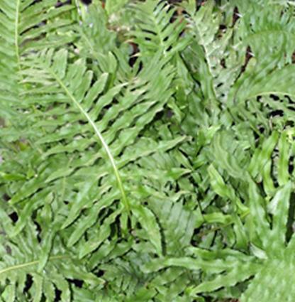 Polypodium  'Whitley Giant'