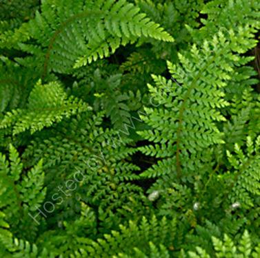 Polystichum setiferum  'Dahlem' 9cm