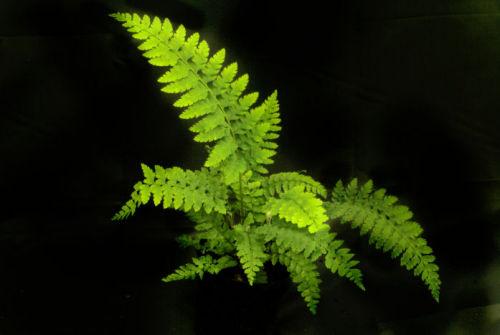 Polystichum setiferum 'Wollastonii'