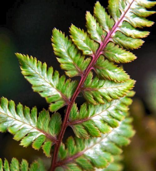 Athyrium nipponicum  'Red Beauty'- Japanese Painted Fern 9cm £4.50