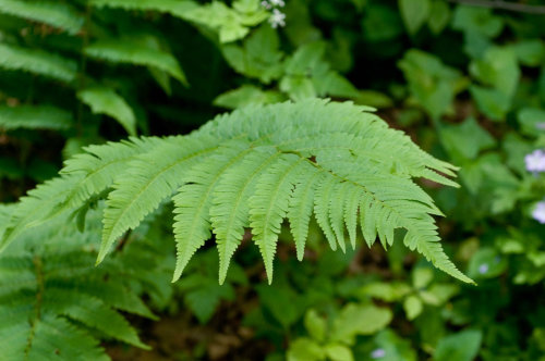 Dryopteris clintoniana - Clinton's Wood Fern 9cm sold out