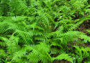 Thelypteris noveboracensis New York Fern Sold out
