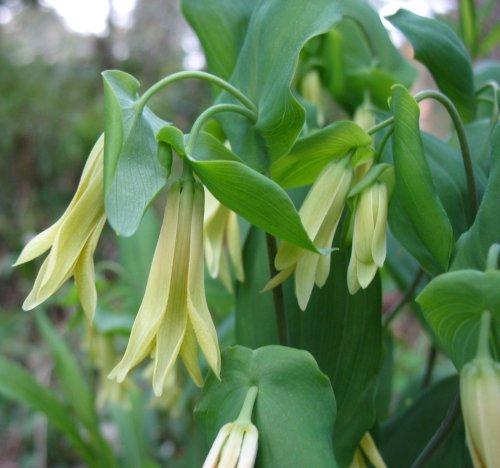 Uvularia perfoliata - Bellwort 9cm €4.95