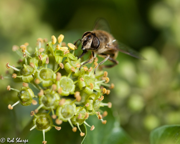 Drone bee on ivy