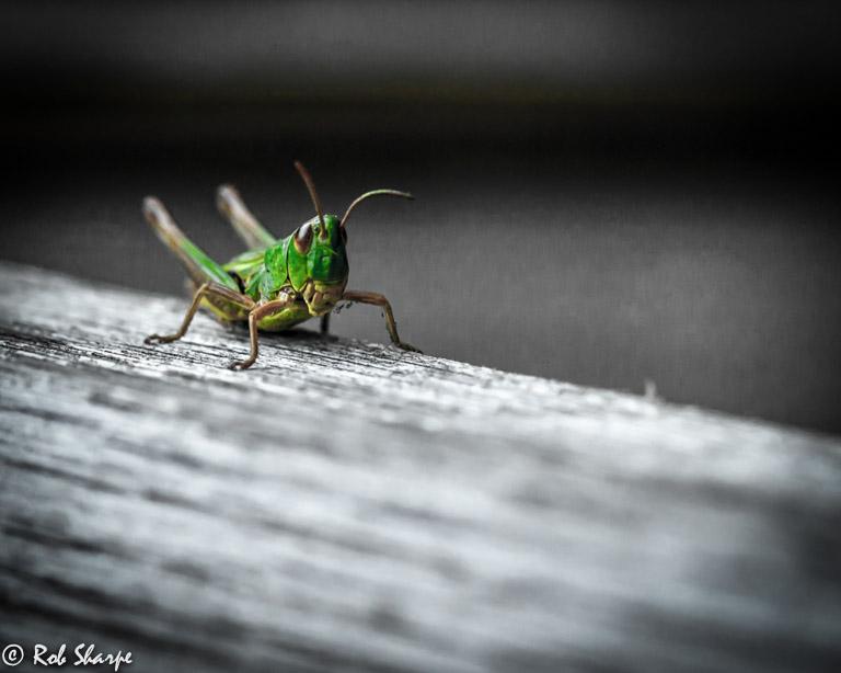 Bladon grasshopper