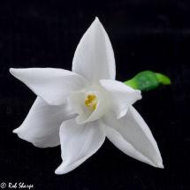 Paper-white narcissi