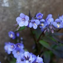 Polomonium 'Bressingham Purple'