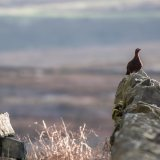 102-Red Grouse