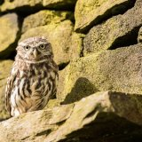 111.Little owl