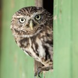 114-Little owl