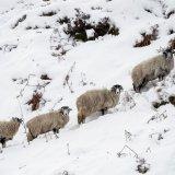 410-Langsett Snowy Sheep