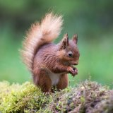 601 Red squirell