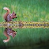 606 Red Squirrel