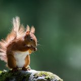 609-Red Squirrel