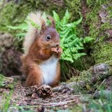 610-Red Squirrel