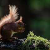 611-Red Squirrel