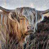 612 Highland-Cow