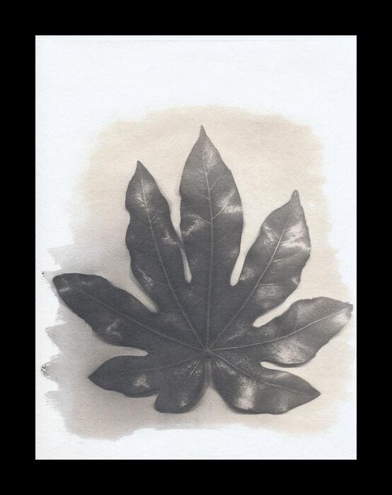 Fatsia Leaf