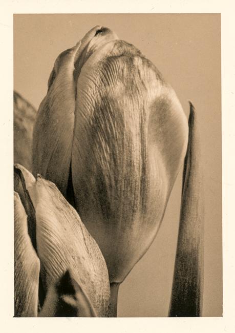 Tulip-01-- November 2009     Simon Bartrum3547 x 5024