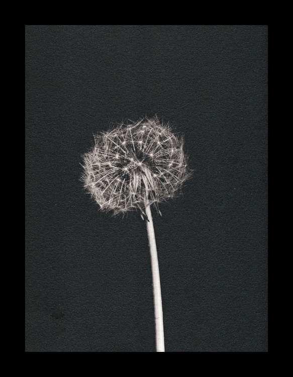 Seed head, Ilford Art 300, virage selenium (24x30)