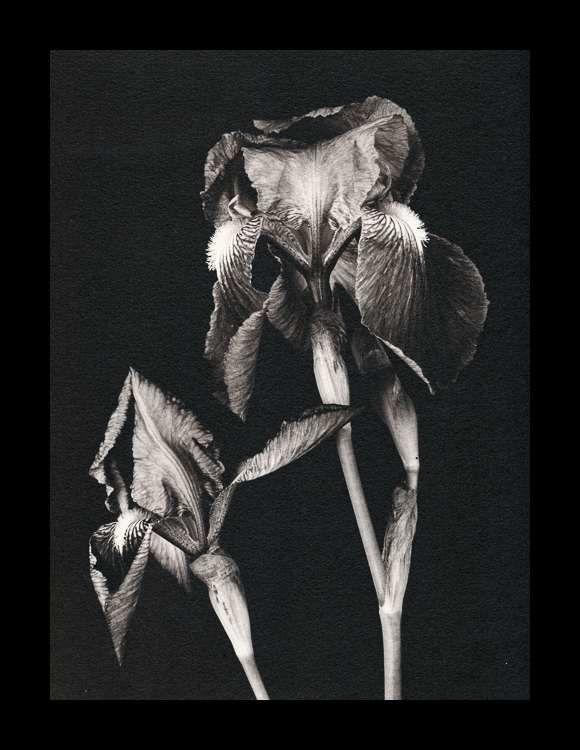 Irises, Ilford Art 300, virage selenium (24x30)