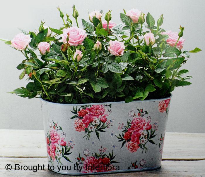Flourishing Rose Love £28