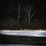 Birches At Pond Edge In Winter