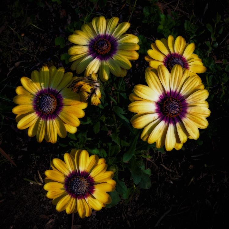 P1050497-1456-1458  Black-Eyed Susans At Last Light