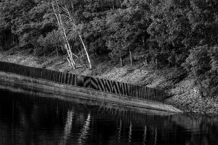 Birches Near The Rail