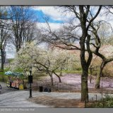Cherry Blossoms and Vendor Cart, Riverside Park