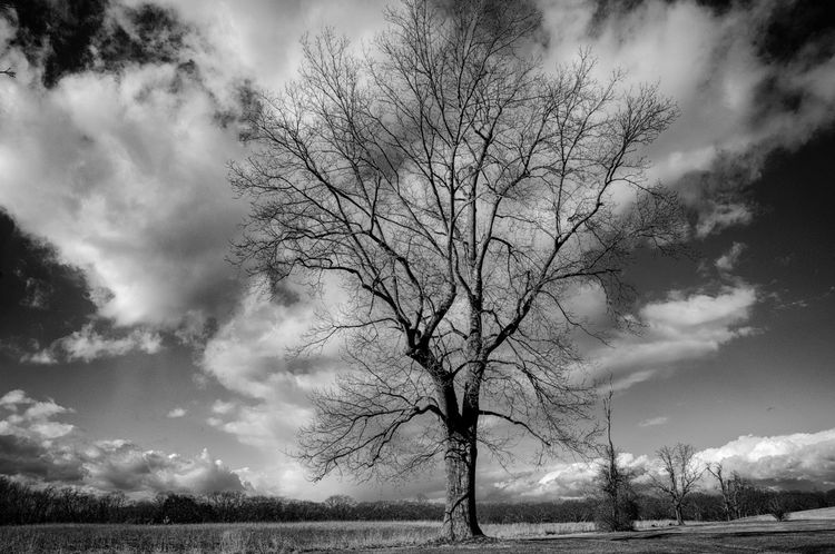 Oak And Field In January