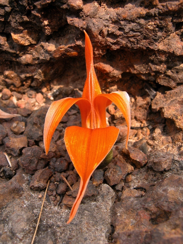 Flame Tree Flower