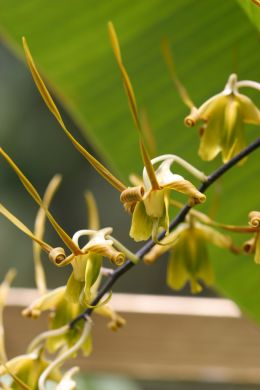 Insect Orchids