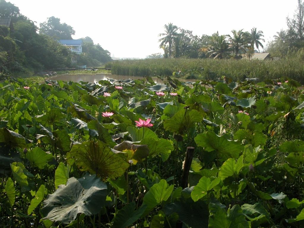 Kanchanaburi Lotus