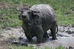 Muddy Water Buffalo Stands Up!