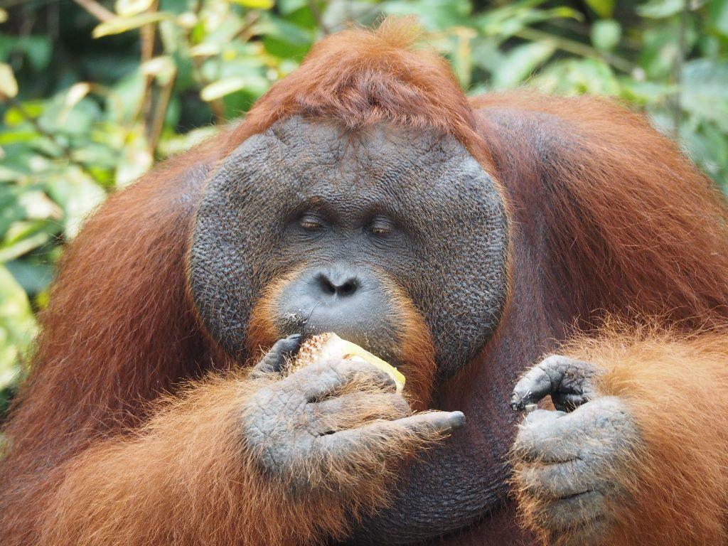 Male Orangutan eating jackfruit