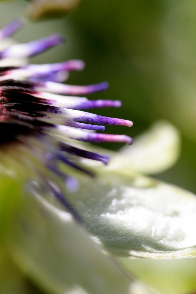 Passiflora Macro