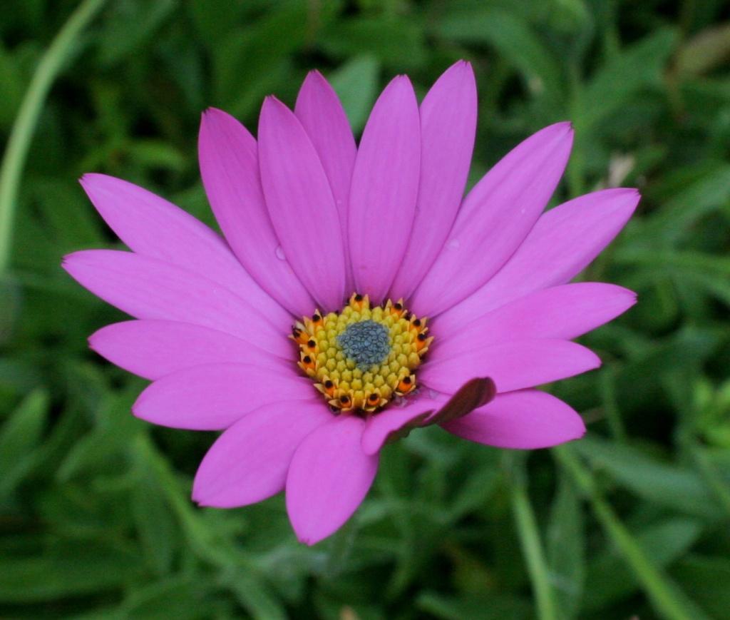 Purple Daisy Detail (1)