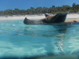Swimming Pig (1)
