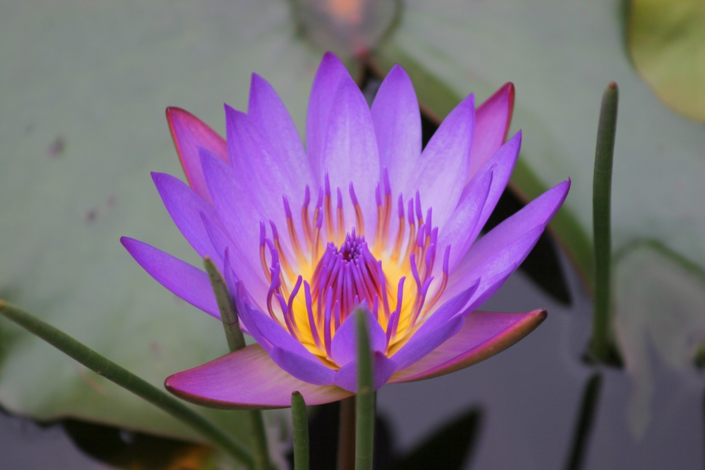 Water Lilly Opening