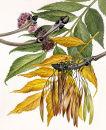 Ash. (Fraxinus excelsior)