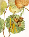 Hazel. (Corylus avellana)