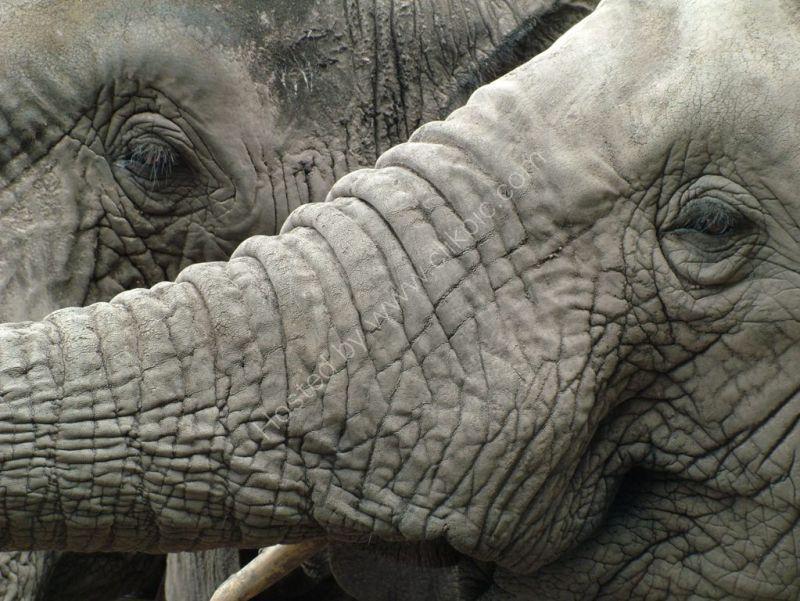 Knysna elephants