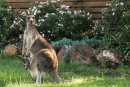 Kangaroo and baby