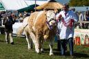 Prize-winning cattle