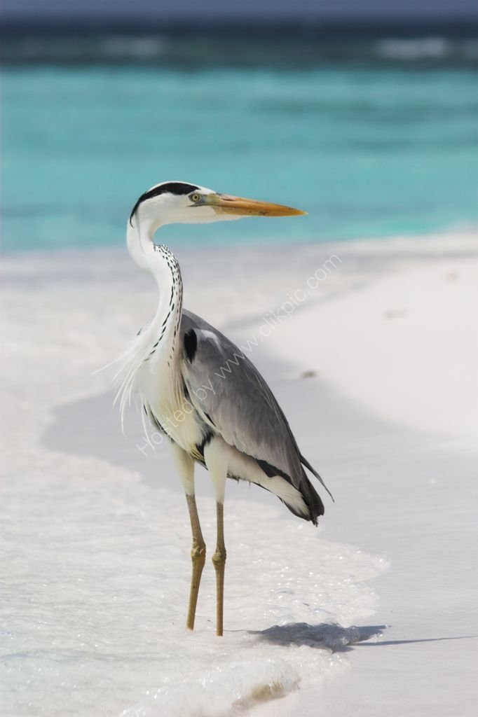 Blue heron on the shore