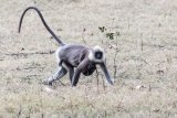 Gray langur, mother & baby