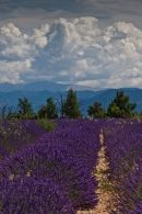 Lavender fields, mountains & clouds