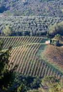 Chianti vines