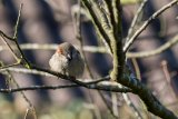 Sparrow in the Spring light